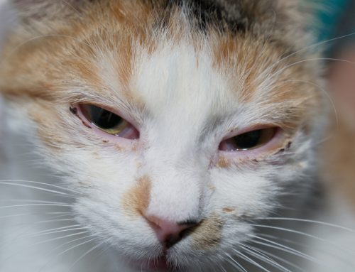 My Cat Has What? The Facts About Feline Herpesvirus